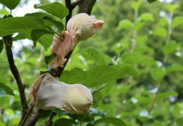 Young apples are protected with nylon footies from apple maggot and coddling moth.