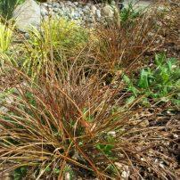 Carex testacea, Acorus gramineus 'Ogon,' Juncus patens 'Elk Blue'