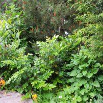 Zone 3 of Bosley's rain garden includes Mahonia aquifolium, Pinus contorta, Thuja plicata