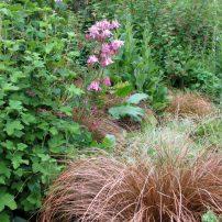 Carex testacea, Ribes sanguineum and Aquilegia sp.