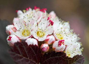 Physocarpus opulifolius 'Center Glow' (ninebark)