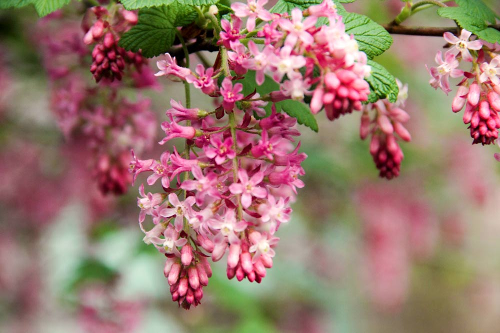 Wshg the water wise garden featured the garden august 31 ribes sanguineum claremont flowering currant mightylinksfo