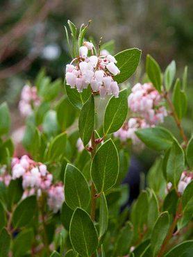 Arctostaphylos densiflora (manzanita)