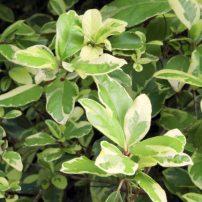 Viburnum tinus 'Variegatum' (variegated laurustinus)