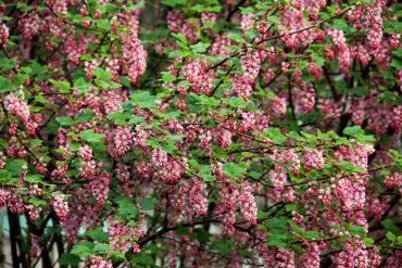 Ribes sanguineum Claremont (flowering currant)