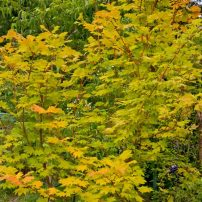 Acer 'Pacific Fire' (red-bark vine maple)