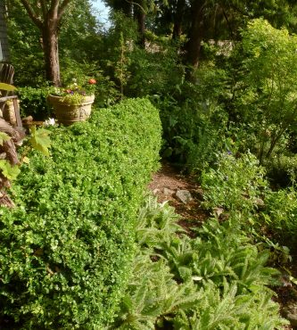 Boxwood hedge, pruned selectively rather than simply sheared, results in a plant that has green growth deep within the plant and a more open habit.