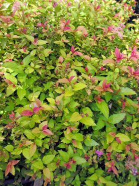 Spiraea japonica 'Goldflame,' nibbled often by deer, sports colorful new foliage most of the year