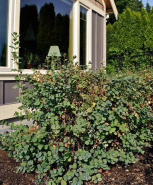 Snowberry, a large, suckering shrub, planted in front of water-view windows is a poor plant choice for the site.