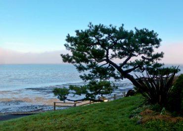 Pinus thunbergii, Japanese black pine