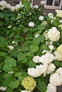 This hydrangea was cut hard in the spring, causing 4 feet of fresh, weak growth, unable to support the weight of its flowers.