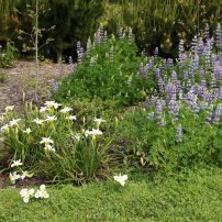 Iris (white) and lupine (blue)