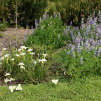 Iris (white) and lupine (blue)
