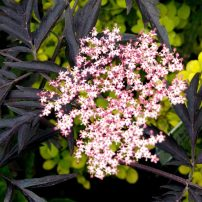 Elderberry (Sambucus 'Black Beauty')