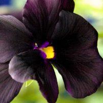 Viola 'Molly Sanderson'
