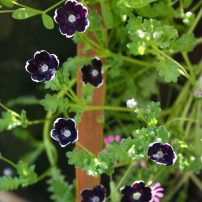 Baby eyes (Nemophila 'Pennie Black')