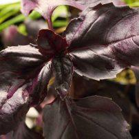 Red rubin basil (Ocimum basilicum 'Red Rubin')
