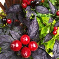 Black pearl pepper (Capsicum 'Black Pearl')