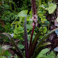 Pineapple lily (Eucomis 'Sparkling Burgundy')