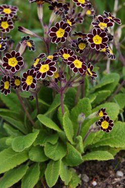 Primrose (Primula 'Penumbra')