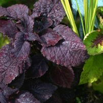 Coleus (Solenostemon 'Dark Star')