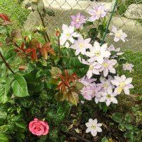 Clematis behind rose