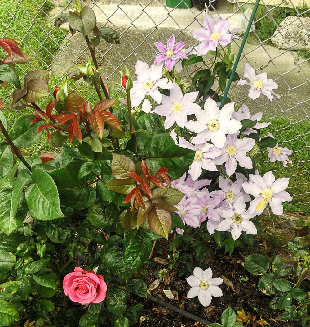 Wshg Net Clematis The Perfect Companion Plant Featured The