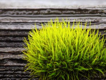 Curly thatch moss on a cedar fence rail