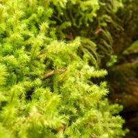 Electrified cat's-tail moss
