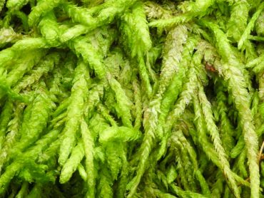 Snake moss, an easy moss for beginners and children to identify