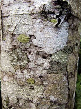 "A ""wallpaper"" of lichen on red alder bark."