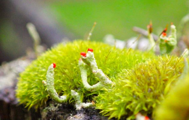 Curly thatch moss and the lichen British soldiers