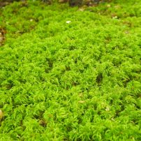 Menzies' tree moss