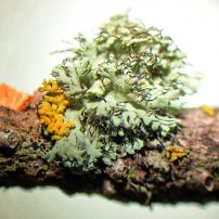 The tiny lichen Physcia tenella, photographed under a microscope by Phoebe Goit