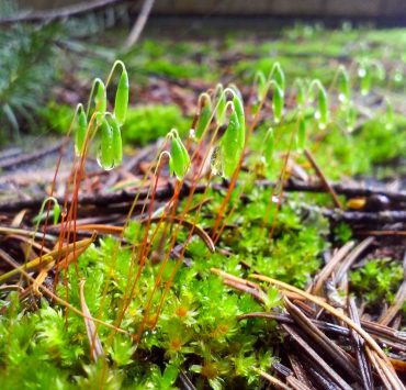 Tall clustered thread moss