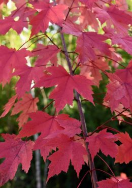 Acer freemanii 'Autumn Blaze', Autumn blaze maple