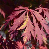 Acer japonicum 'Aconitifolium', Fernleaf full moon maple