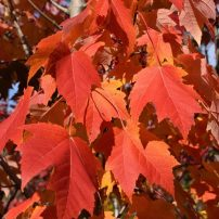 Acer rubrum 'Bowhall', Bowhall red maple