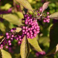 Callicarpa bodinieri 'Profusion', Profusion beauty berry