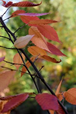 Carpinus caroliniana 'Firespire', Firespire American hornbeam