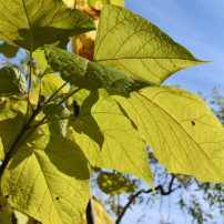 Catalpa bignoides 'Aurea', Golden catalpa