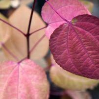 Cercidiphyllum japonicum, Katsura tree