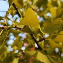 Gingko biloba 'Autumn Gold', Autumn gold gingko