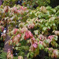Oxydendrum Arboretum, Sourwood