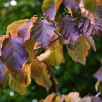 Parrotia persica, Persian ironwood