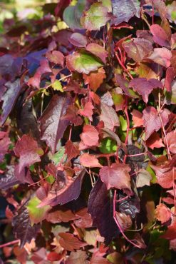 Parthenocissus tricuspidata 'Veitchii', Boston ivy