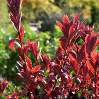 Rhododendron 'Weston's Innocence', Weston's Innocence azalea