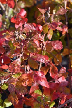 Rhus aromatica 'Gro-Low', Gro-Low fragrant sumac