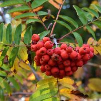 Sorbus aucuparia, European mountain ash