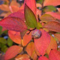 Stewartia pseudocamellia, Japanese stewartia